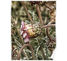 flower with candy stripes Poster