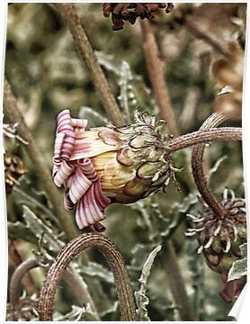 flower with candy stripes by Karin  Taylor