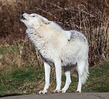 An Arctic Wolf Howls during the day by Josef Pittner