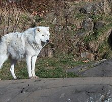 A lone Arctic Wolf by Josef Pittner