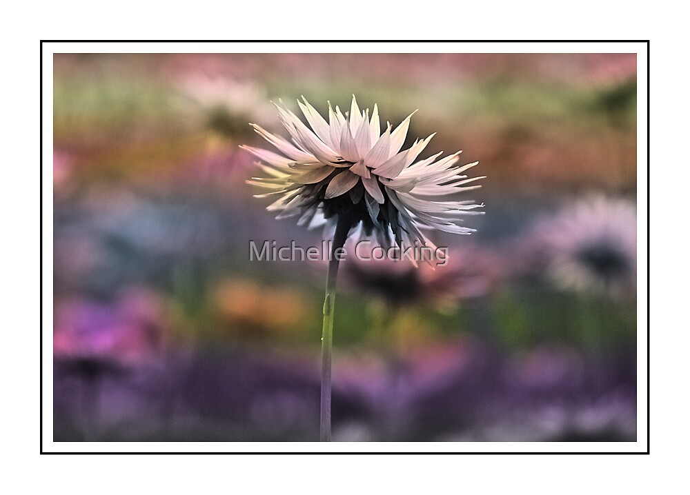 Kings Park Paper Daisy by Michelle Cocking