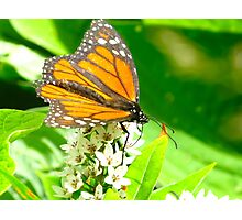That elusive Monarch Photographic Print