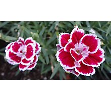 Little Carnations Photographic Print
