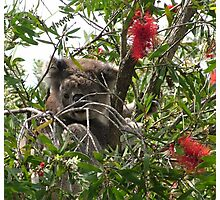 Peek-a-Boo in the Bottle Brush Tree Photographic Print