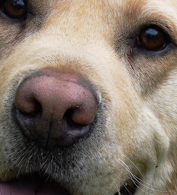 Labrador's Nose Knows... by Meg Hart