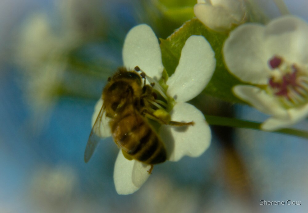 The Busy Bee Photo 2 by Sherene Clow