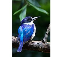 Forest Kingfisher Photographic Print