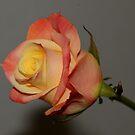 Beautifull rose by Nicole W.