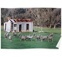 Farm Shed and Sheep Poster