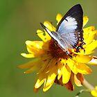 Butterfly Blue by Jillian Holmes