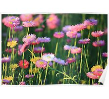 Paper Daisies @ Sunset Poster