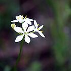 White Wildflower, Western Australia by SoulSparrow