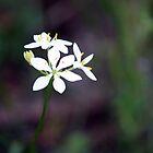 White Wildflower, Western Australia by SoulSparrow