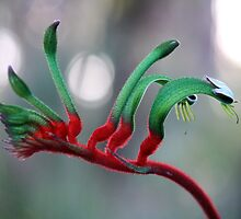 Red Kangaroo Paw, Australia by SoulSparrow