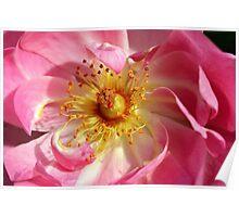 Macros blush . Poster
