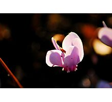 Soft and pink Photographic Print