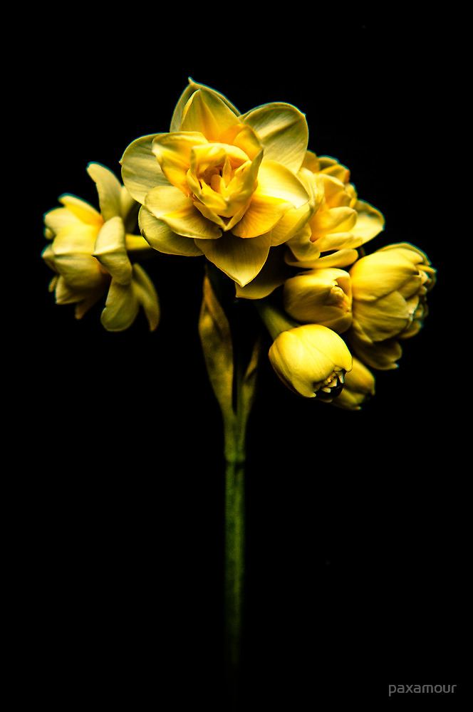 Narcissus by paxamour