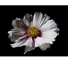 "Cosmos bipinnatus ""Sweet Dreams"" Photographic Print"