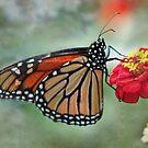 Monarch on Zinnia  by KatMagic Photography