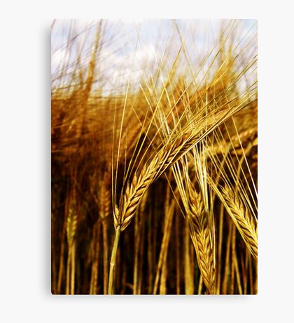 24 Carat Corn Canvas Print