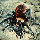 Aphonopelma Anax by Pandrot