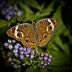Buckeye Butterfly Wings Spread by Lightengr