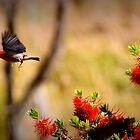 scarlet honeyeater  2 by Trish Threlfall