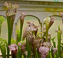 Pitcher Plant Convention by John Butler
