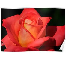 Fiery Color Rose Poster