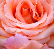Layers Of Pink Petals by Diego Re