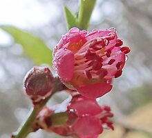 peach blossoms in the mist by Alenka Co
