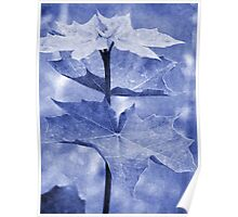 Blue Maple Leaf Poster