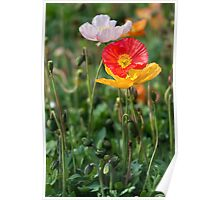 Poppies 2 Poster
