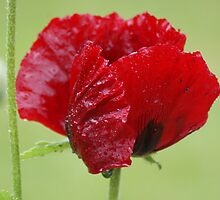 Poppy - Beauty of Livermere by Sally J Hunter