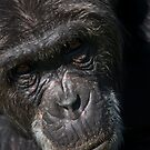 Captive or Refugee?  Chimpanzee, Ol Pejeta Conservancy, Kenya by Neville Jones