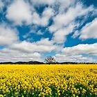 Canola Field by Mark Knighton