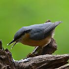 Nuthatch by Nicole W.