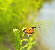 Beautiful Viceroy Butterfly Limenitis archippus near lake by Mariannne Campolongo