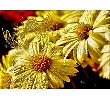 Tune of yellow chrysanthemums Photographic Print
