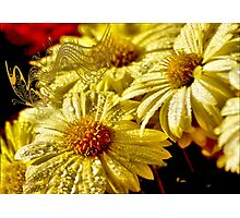 Tune of yellow chrysanthemums Photographic Print