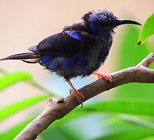 Red-Legged Honey Creeper by Barnbk02