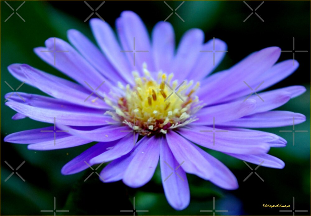 IN BLUE - THE MICHAELMAS DAISY - Aster novi-belgii by Magriet Meintjes