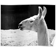 Llama Black and White Poster