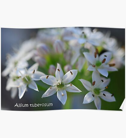 Allium tuberosum Poster