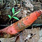 Dog Stinkhorn Mushroom - Mutinus caninus by MotherNature