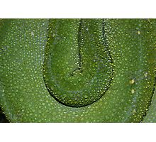 Water droplets on Green Tree Python skin  Photographic Print