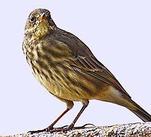 Rock Pipit At Lyme Harbour, Dorset, UK by lynn carter