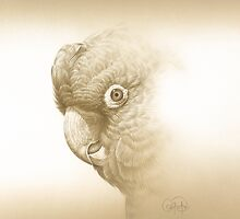 Yellow-tailed Black Cockatoo  by Christopher Pope