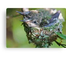 Hummingbird Babies II: Snug In the Nest Canvas Print