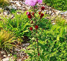Hairy Purple Flower by Adam Kuehl